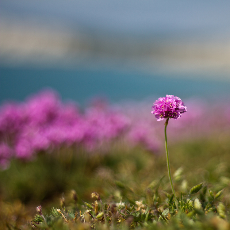 Pink Thrift wildflowers in bloom on the cliffs above Compton Bay, Isle of Wight, UK.