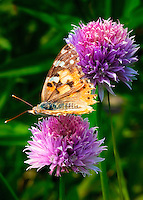 The Cynthia group of colourful butterflies, commonly called painted ladies, comprises a subgenus of the genus Vanessa in the Family Nymphalidae. They are well known throughout most of the world.