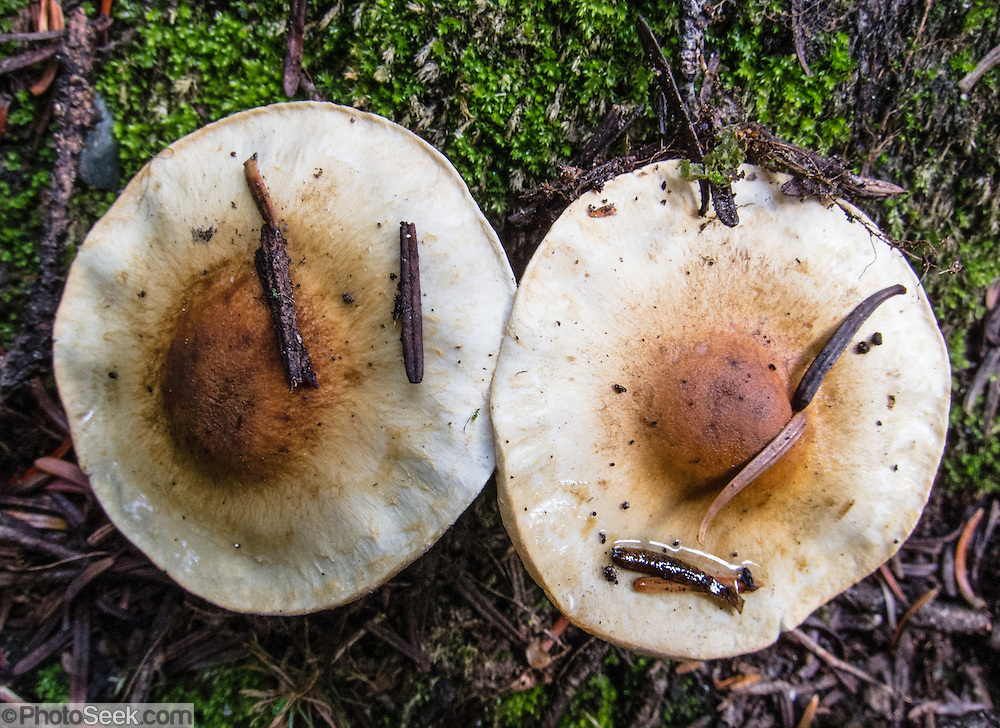 Two mushrooms resemble fried eggs with yellow yolk and white disc in Yoho National Park, British Columbia, Canada.
