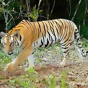 Wild Tiger, Panthera tigris - computer generated illustration.