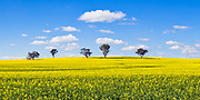 trees on hill overlooking canola crop under clouds near Brucedale, New South Wales, Australia.