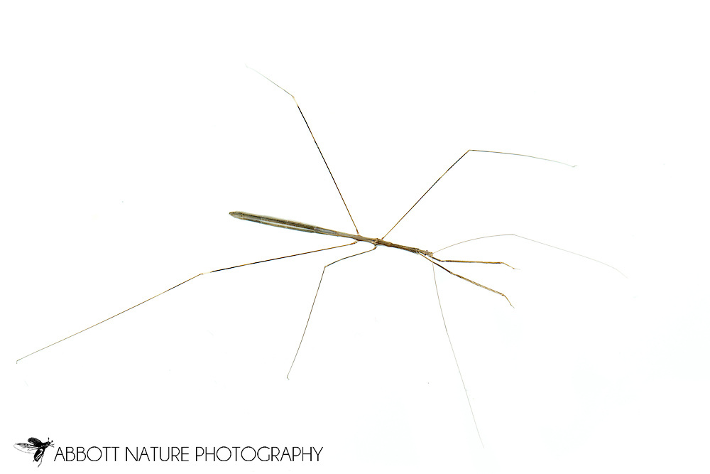 Thread-legged Bug (emesaya sp.)<br /> TEXAS: Gonzales Co.<br /> Palmetto State Park<br /> 30-Oct-2014<br /> J.C. Abbott &amp; K.K. Abbott