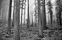 Black and White Yosemite trees