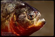 05: PIRANHAS RED-BELLIED SPECIES