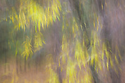 Willow Leaves, autumn, Ahwahnee, California 2012