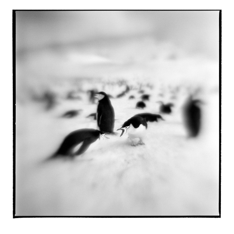 Antarctica, Deception Island, Blurred black and white image of Chinstrap Penguins squabbling on snow slope