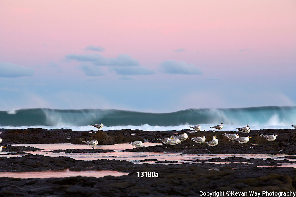 Crested Terns at sunset