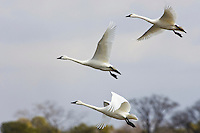 Tundra Swans Easterneck National Wildlife Refuge
