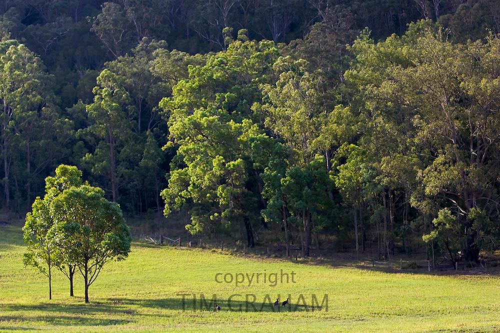 Wallabies near Wollombi, Australia