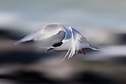 White-fronted Tern in flight, at Curio Bay