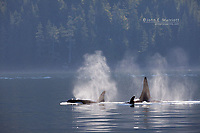 Orca in Johnstone Strait near Telegraph Cove, BC, Canada