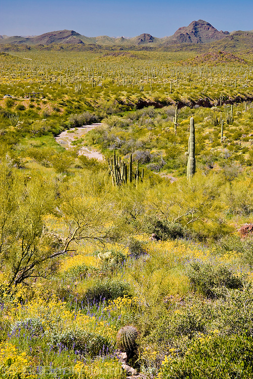 lush spring growth in Organ Pipe Cactus National Monument, AZ, USA