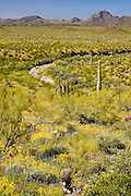 lush spring growth in Organ Pipe Cactus National Monument, AZ, USA