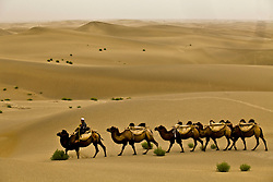 Ruzmamat, a camel man, makes his way through Taklamakan desert with his camels in Xinjiang province in China.