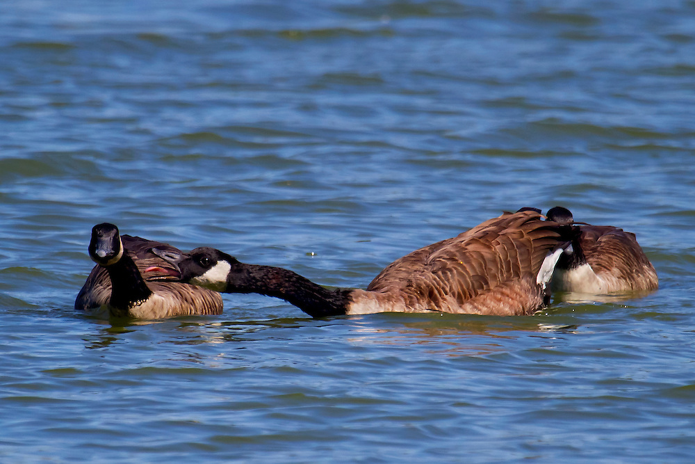 These two shots (this one and the previous) are some male geese fighting over a mate, who is hiding behind one of the males. Sound familiar?