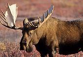 Wildlife: Moose, Bull Moose