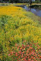 Bitterweed, (Helenium amarum) with Indian Blankets, Llano County, Texas