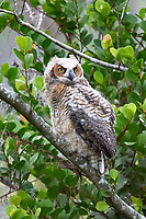 Great Horned Owl (Bubo virginianus), first day out of nest, Arthur R Marshall National Wildlife Reserve - Loxahatchee, Florida, USA.    Photo: Peter Llewellyn
