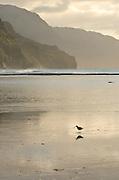 Wandering Tattler (Tringa incana) at Ke'e Beach, Kauai, Hawaii