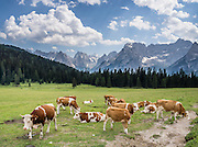 Cattle graze a green field high in the Dolomite mountains. See the Sorapiss Group (right, 3205m/10,515 ft) across a pasture just south of Lake Misurina (address: 32041 Auronzo di Cadore), in the Province of Belluno, Veneto region, Italy. Lago di Misurina is only 14 km from Cortina d'Ampezzo. The Dolomites are part of the Southern Limestone Alps, in northern Italy, Europe. UNESCO honored the Dolomites as a natural World Heritage Site in 2009.