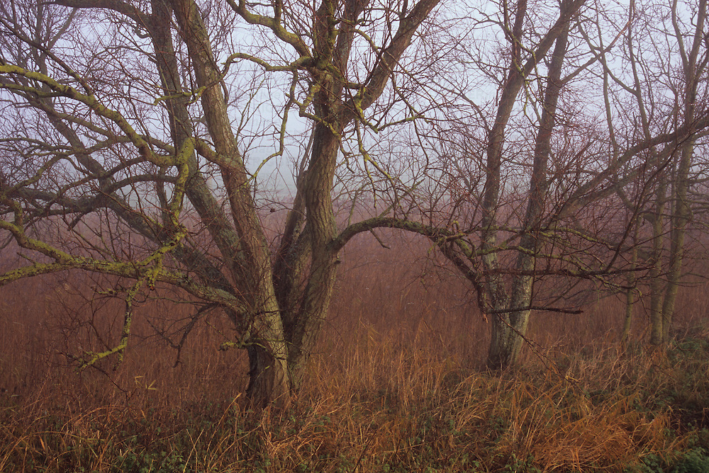 Misty winter scene of three bare Common alder or Alnus glutinosa trees surrounded by brown reeds