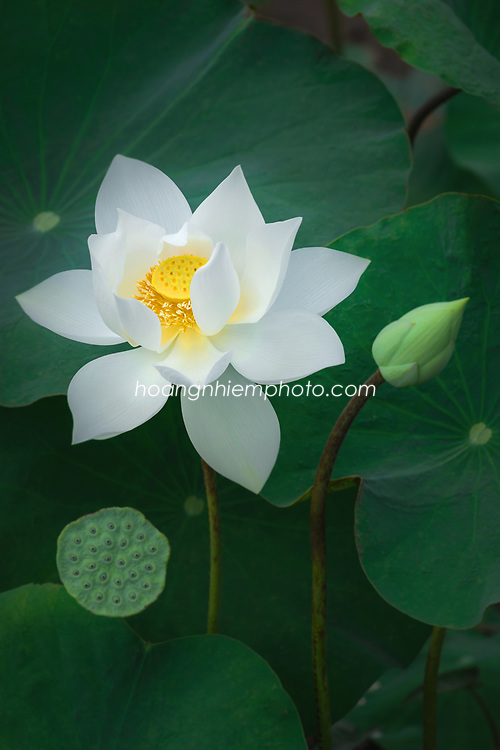 Vietnam images-Hoa sen-Flower-Lotus -Hoàng thế Nhiệm