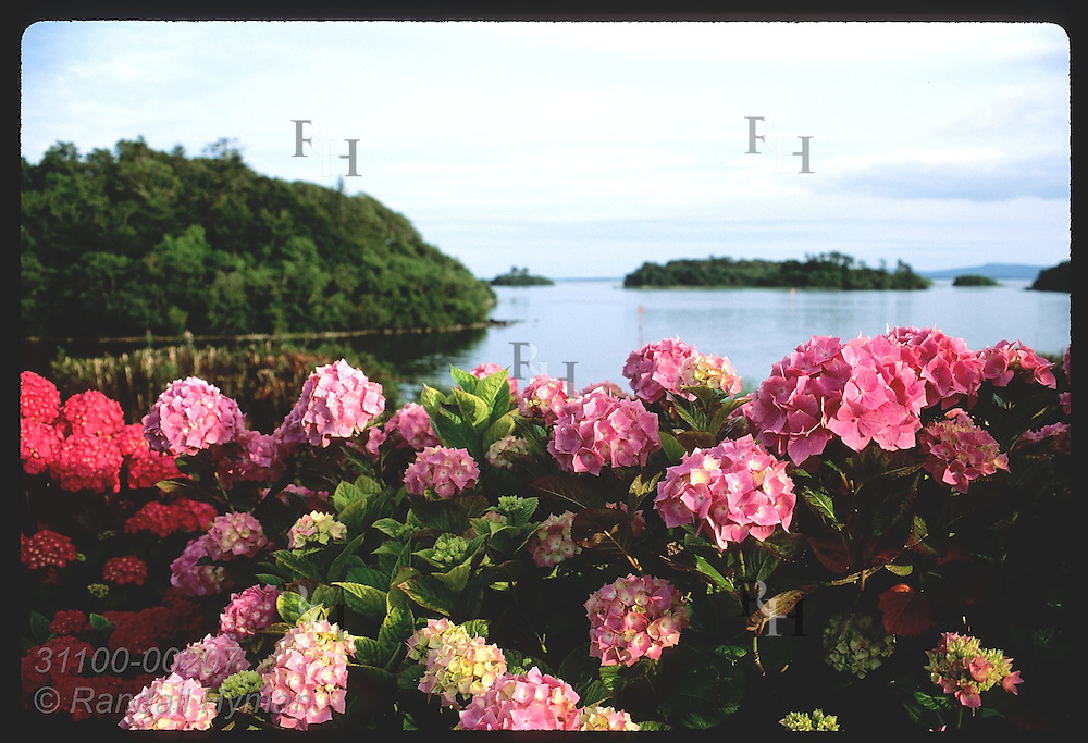 Pink hydrangeas at Ashford Castle frame Lough Corrib, Ireland's second largest lake; Cong. Ireland
