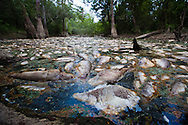 Fish Kill in a bayou off the Pearl River in St. Tammany Parish Louisiana caused by a sdischarge from the Temple-Inland paper mill in Bogalusa that was made up of a mixture of pulp and unspecified chemicals that turned the river black killing fish, shellfish and turtles along 40 miles of the river. The chemicals released into the river depleted oxygen levels which caused the fish kill in the river and its' many tributaries. Clean-up crews were dispatched  to remove the dead fish before they sink depleting the waterway of more oxygen causing an even larger environmental disaster.