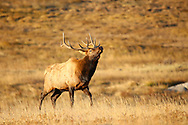 Bull elk in Rocky Mountain National Park in October