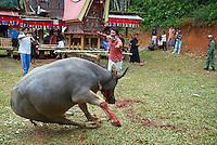 Indonesie. Sulawesi (Celebes). Pays Toraja, Tana Toraja. Ceremonie funeraire. Sacrifice d'un buffle. // Indonesia. Sulawesi (Celebes Island). Tana Toraja. Toraja funeral ceremony. Sacrifice of buffalo.