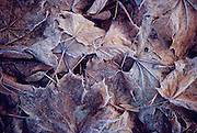Fall leaves covered in frost.