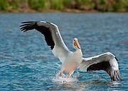 A White Pelican lands on Antero Reservoir, Colorado