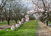 Almond Blossoms in Fresno