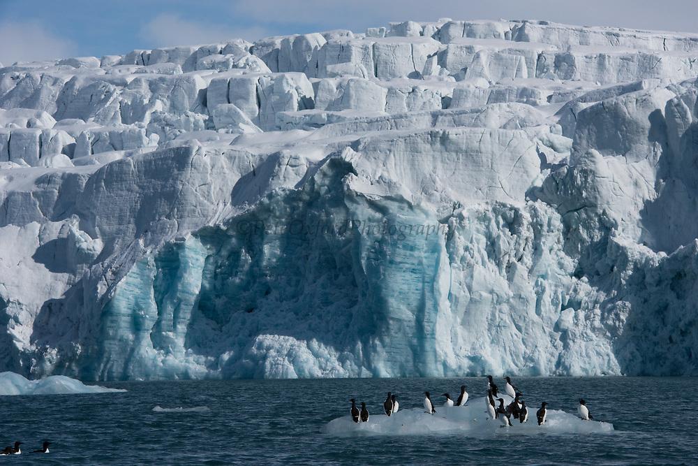 Brunnich's Guillemot & Scenery<br /> (Uria lomvia)<br /> Alkefjellet Bird cliffs<br /> Spitsbergen<br /> Svalbard<br /> Norway<br /> Arctic Ocean
