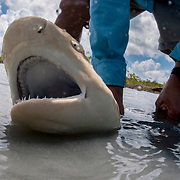 A lemon shark pup is caught in a mangrove creek in south Eleuthera, Bahamas. At less than 2 feet he is a very young shark. He will be transported to a lab and then to an open-ocean pen for observation before being released as a tagged, wild shark. The shark will become a representative of the species. Lemon sharks depend on mangroves for the survival of the first 5-8 years of their lives. Mangroves are disappearing throughout the world and the fate of the lemon shark is left in the balance. We need to get proper protections for the world's mangroves and then enforce them.