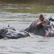 November 30, 2005 - A group of hippos water themselves in Virunga National Park near Goma, in Eastern Congo. The hippo population has been decimated due to poaching by rebel soldiers hiding in the park since the beginning of Congo's civil war. Photo by Evelyn Hockstein