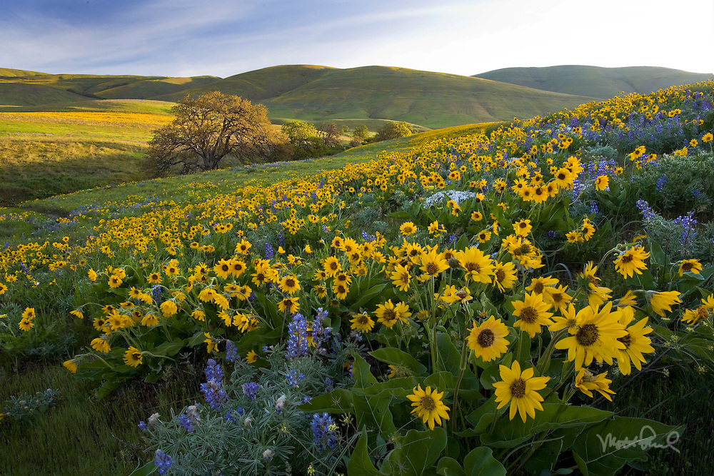 We heard the wildflowers out at Columbia Hills were past peak so we went out to investigate. We discovered it was prime time and ended up returning three times to this place to shoot the arrowleaf balsamroot and lupine. I couldn't get enough of this place!