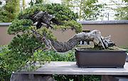 "Photo shows ""Seiryu"", a Japanese five-needled pine on display at the Saitama Omiya Bonsai Museum of Art in Saitama, Japan on 15 Aug. 2011..Photographer: Robert Gilhooly"