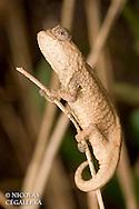 un des plus petits reptiles du monde, One of the smallest reptile of the world