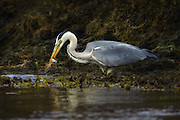 Gray Heron in the evening sun, catching a fish | Gråhegre i kveldssolen som fanger en fisk.