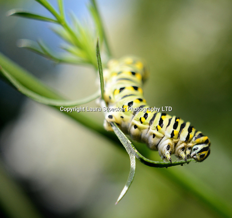 A black swallowtail caterpillar larvae dines on the leaves of a Queen Anne's Lace plant in Lily Lake. They also like to dine on the leaves of parsley, dill, fennel and carrots. Depending on food source and temperature variables, the larvae stage can last for 10-30 days before they enter the pupal stage with can last up to 18 days before they emerge as as a butterfly.