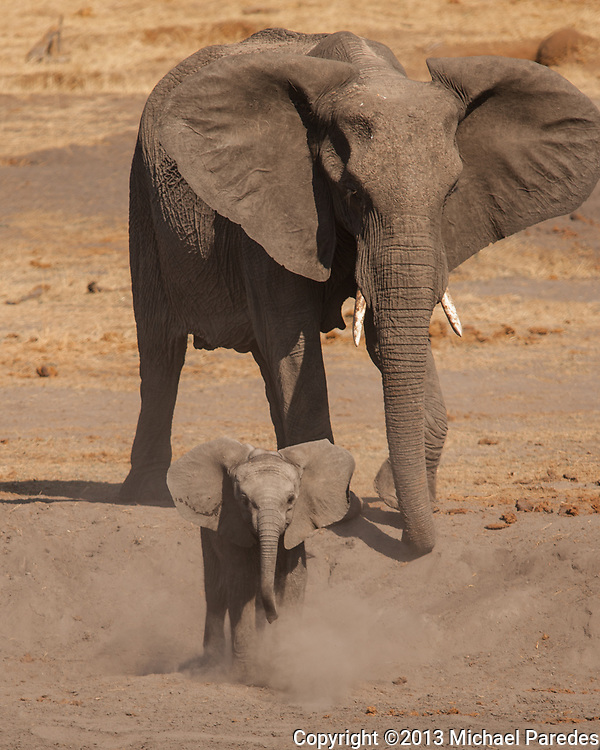 "A young elephant ""threatens"" a herd of sable at a water hole in Zimbabwe. They don't  appear too concerned!"