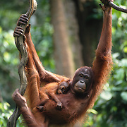 Mother and baby orangutans (Pongo pygmaeus) hanging from a vine in teh rainforest. Borneo, Maylasia
