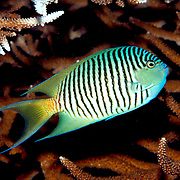 Black Spot Angelfish inhabit reefs; picture taken Fiji.
