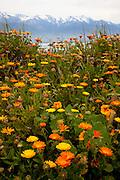 Kaikoura spring flowers, Seaward Range