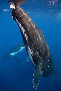 A humpback whale (Megaptera novaeangliae) slowly approaches the photographer in the Kingdom of Tonga