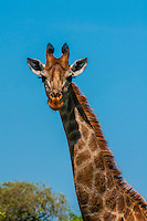 Giraffe, Dinokeng Game Reserve, near Pretoria (Tshwane), South Africa.