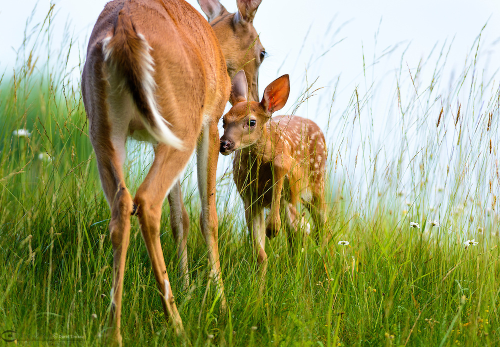 Young White-Tailed deer, Odocoileus virginianus, fawn, nursing on its mother, Pipestem State Park, West Virginia, U.S.A.