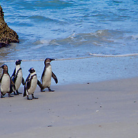 Alberto Carrera, African Penguin, Spheniscus demersus, Boulders Penguin Colony, Table Mountain National Park, Cape Town, South Africa, Africa