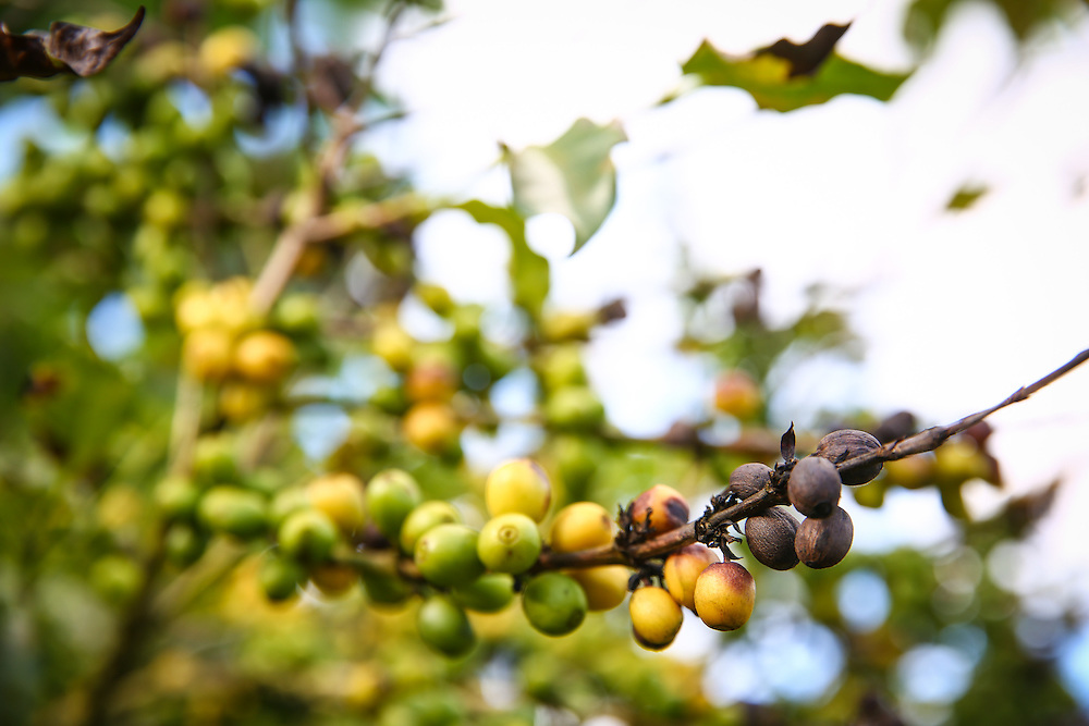 Coffee rust has caused leaves to fall off and coffee cherries to start dying on the farm of Martiniano Moreno Angel near Jaltenango, Chiapas, Mexico. (Joshua Trujillo, Starbucks)